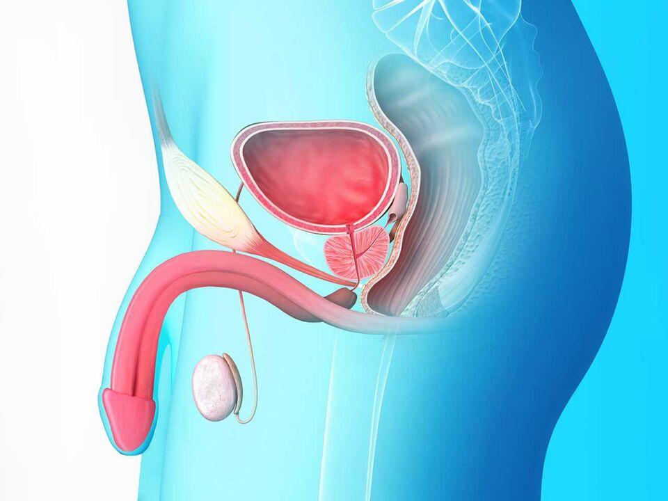 Egy év prosztatitis A prosztat- szövődmények transzuretrali reszekezése